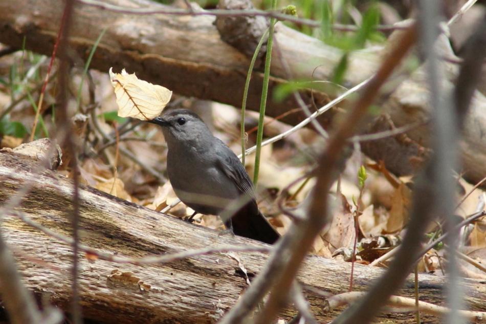Grey catbird waving a leaf