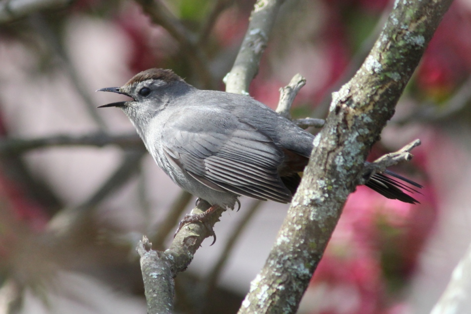 Grey catbird singing