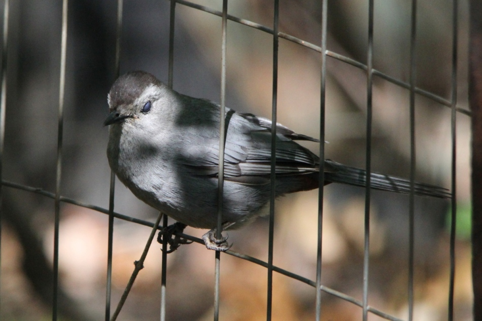 Grey catbird blinking