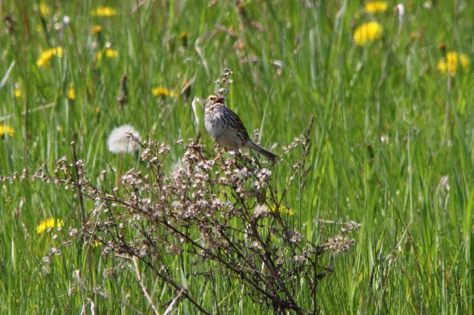 Savannah sparrow singing