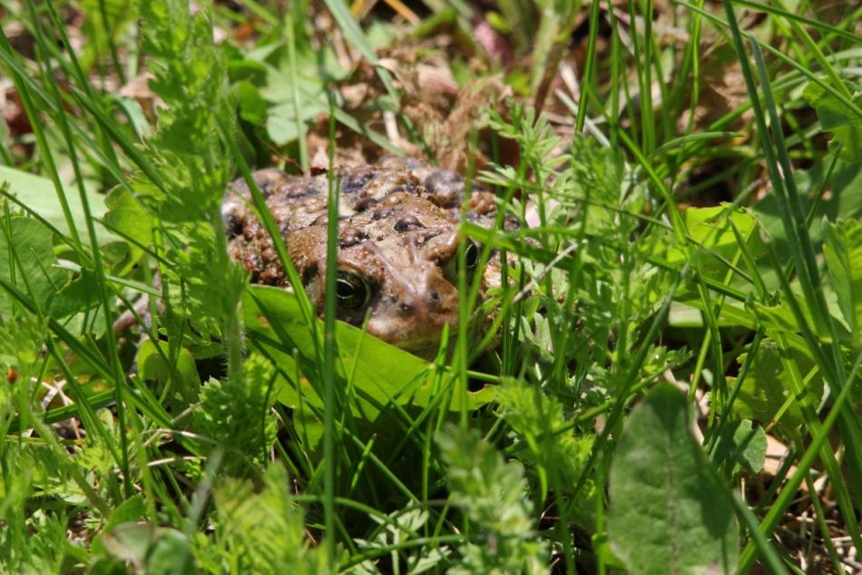 Toad hiding