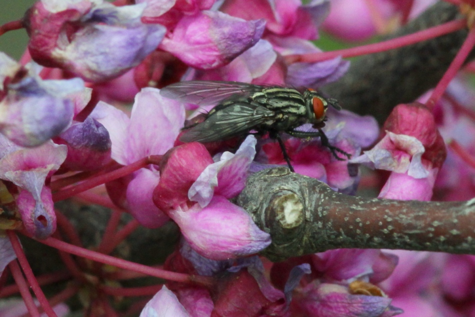 Redbud and fly