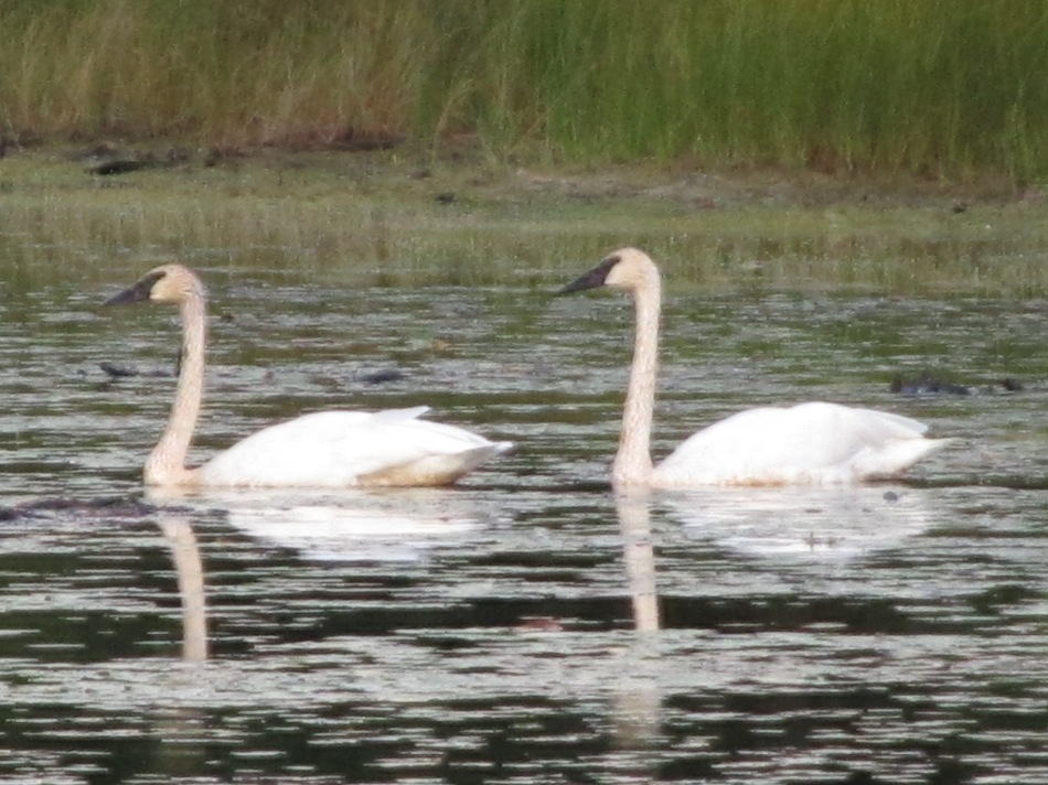 Trumpeter swans as seen by my old Nikon
