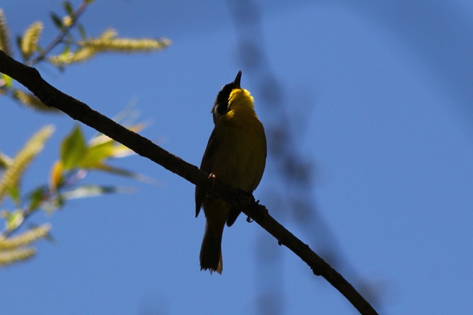 Common yellowthroat really singing