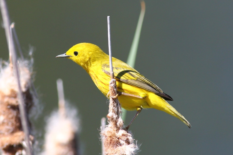 Yellow warbler, not cropped