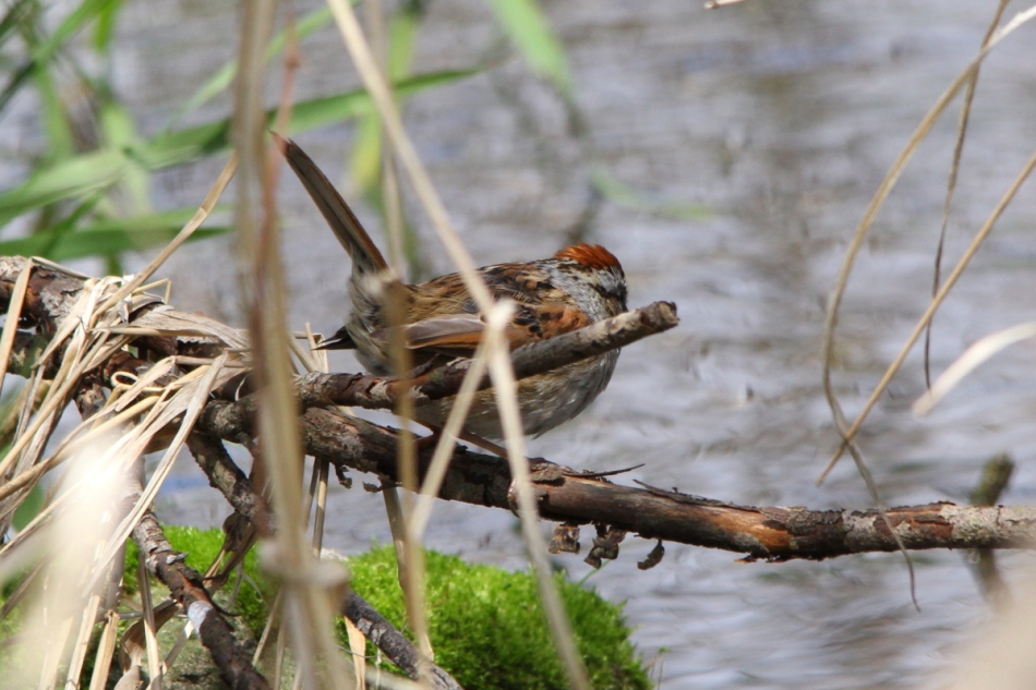 Swamp Sparrow, Melospiza georgiana