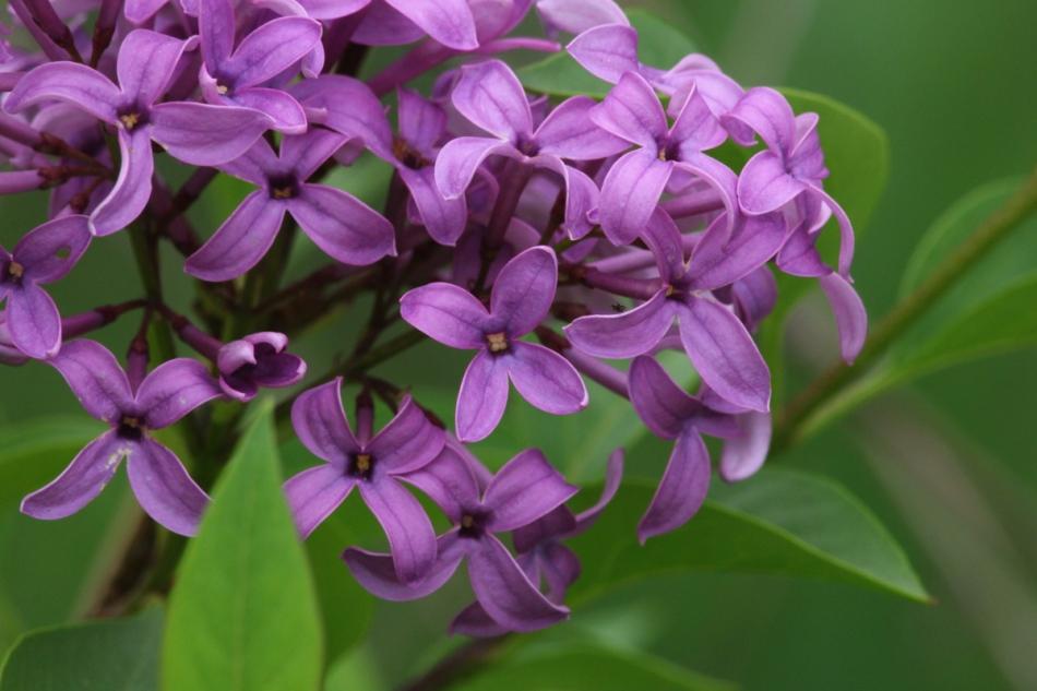 Lilac?