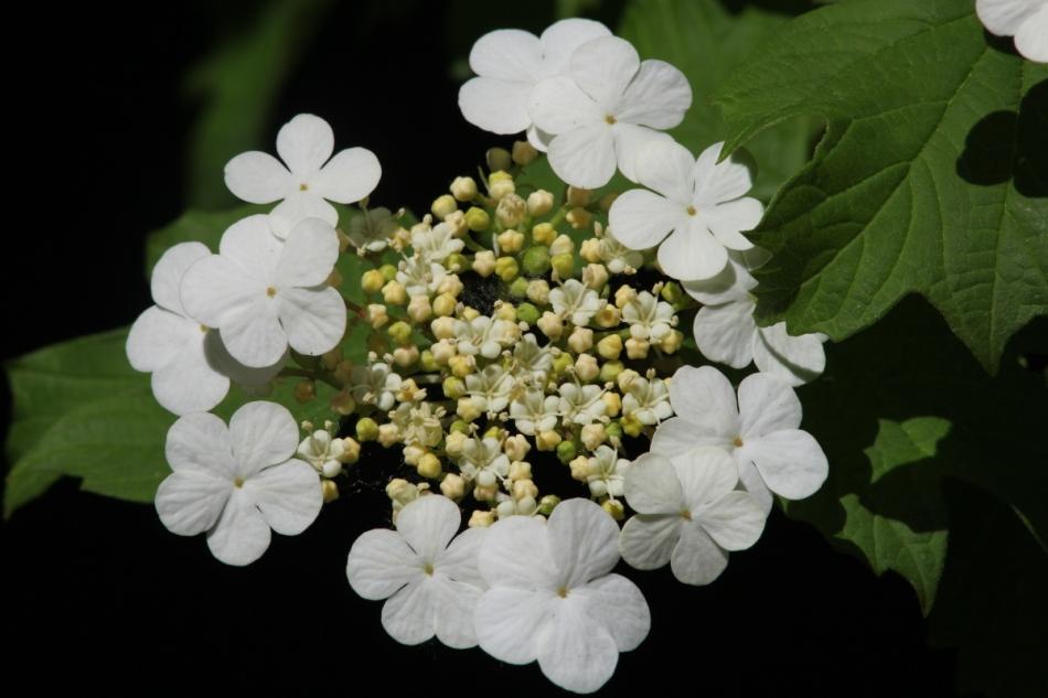 Highbush cranberry flowers