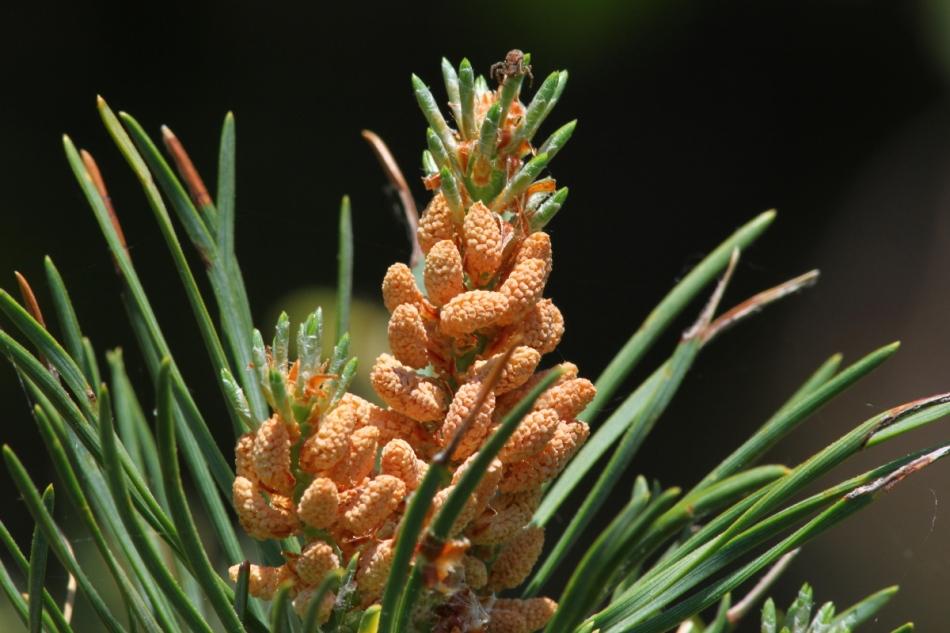 Jack pine flowers