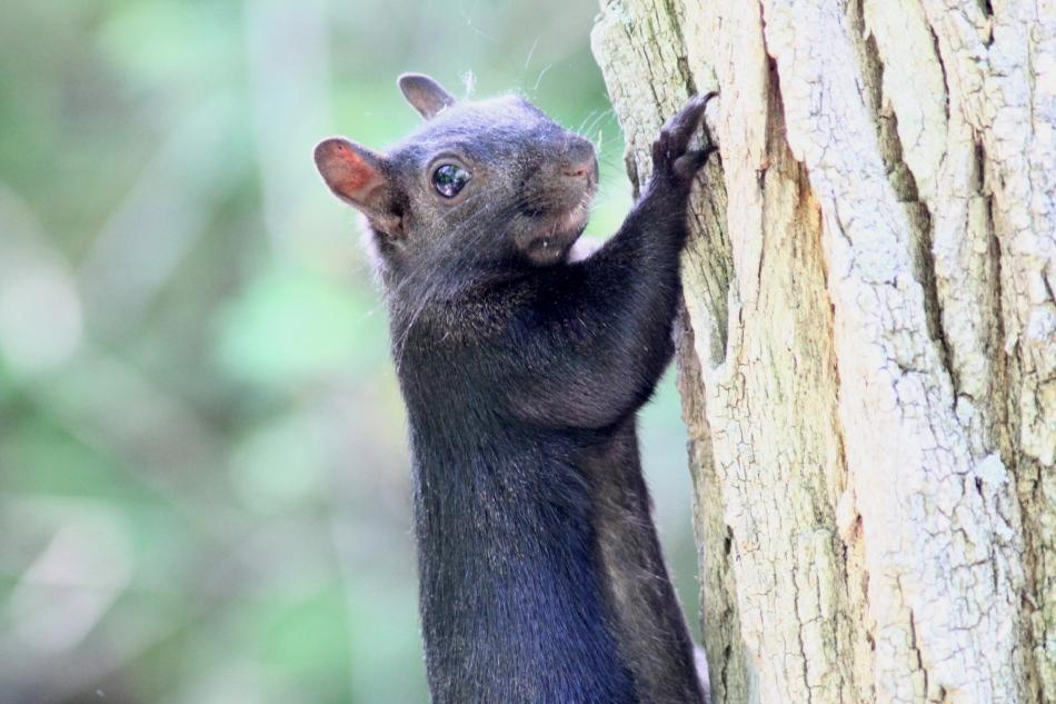 Grey squirrel, black morph