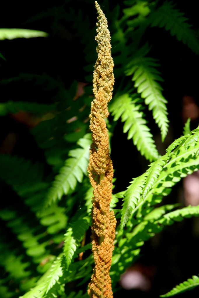 Cinnamon fern?