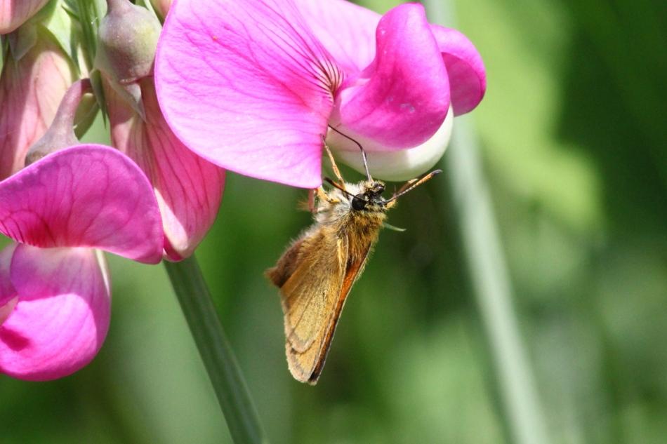 Butterfly on sweet pea