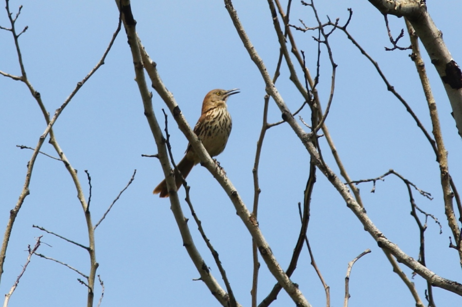 Brown thrasher singing