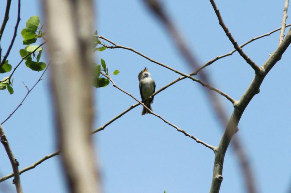Alder flycatcher singing