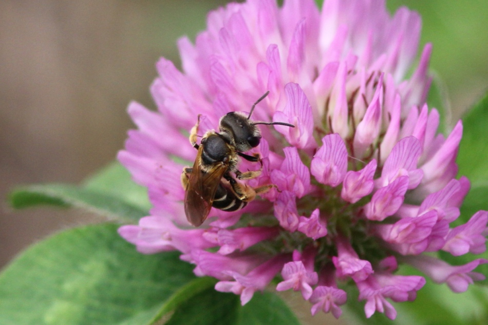 Bee on red clover