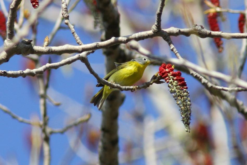 Nashville Warbler, Oreothlypis ruficapilla