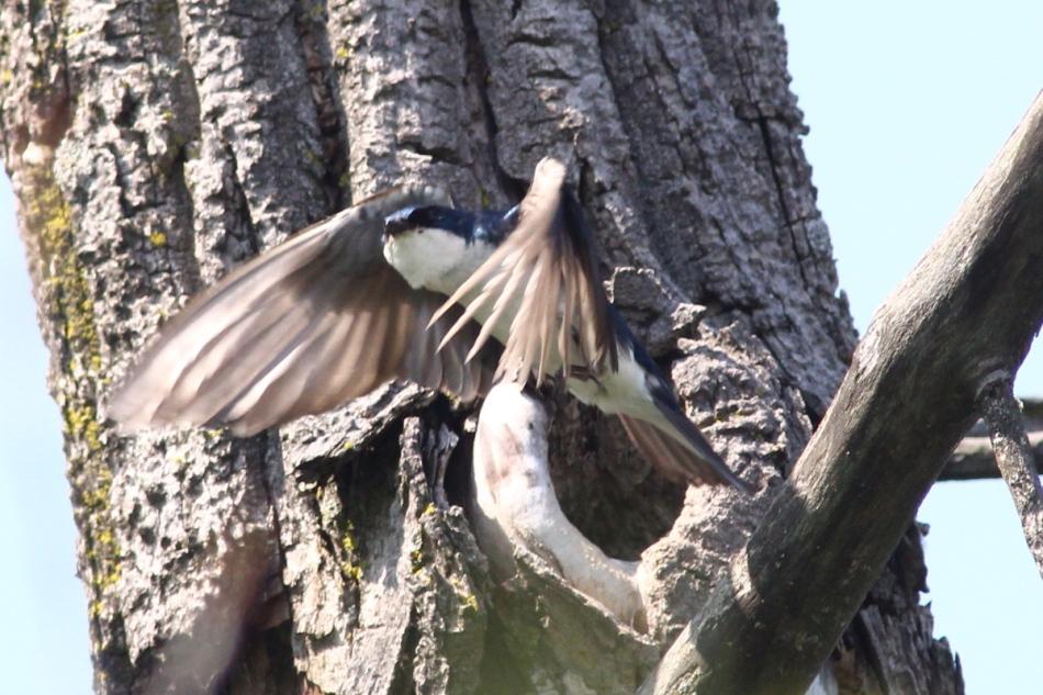 Male tree swallow taking flight