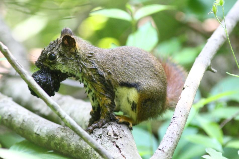 Muddy red squirrel
