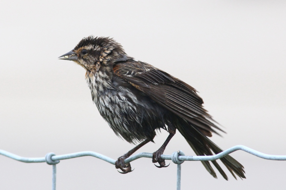 Female red-winged blackbird in the rain