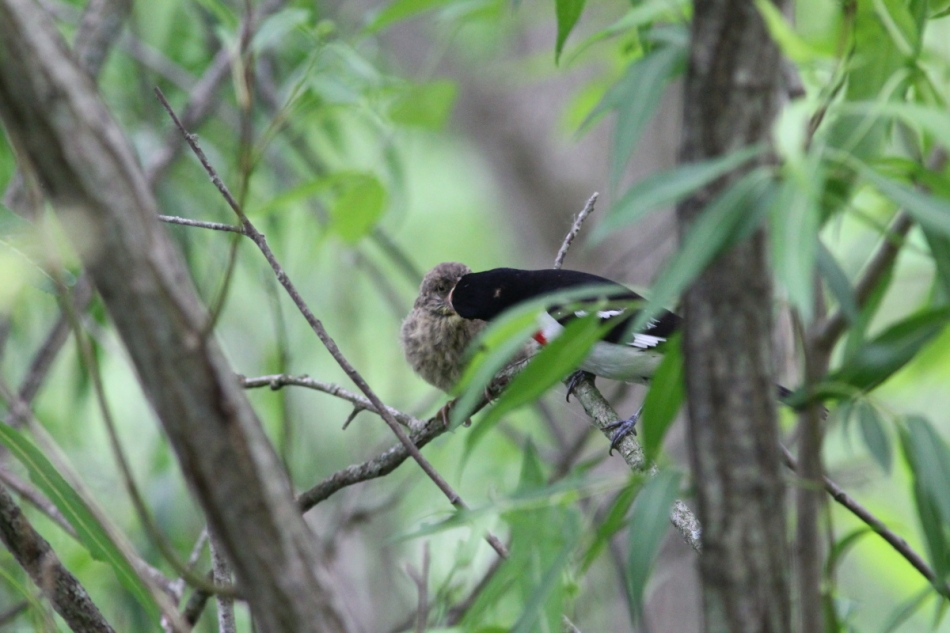 Adult male rose-breasted grosbeak feeding one of its young