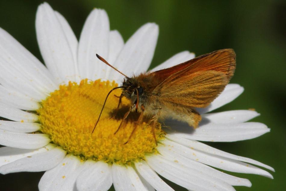 Butterfly on daisy