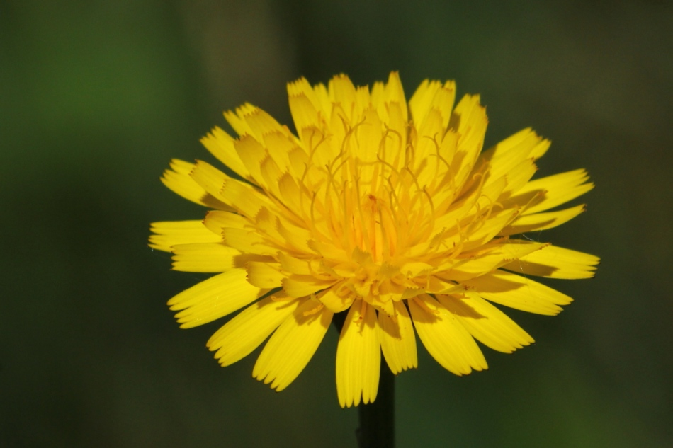 Spiny leaved sow thistle