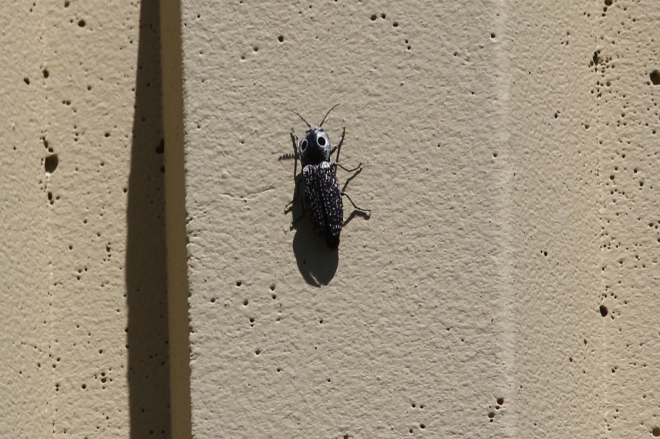 """""""big eyed"""" beetle"""