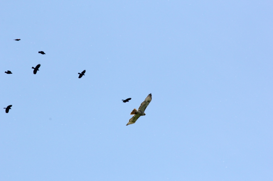 Red-winged blackbirds attacking a red-tailed hawk