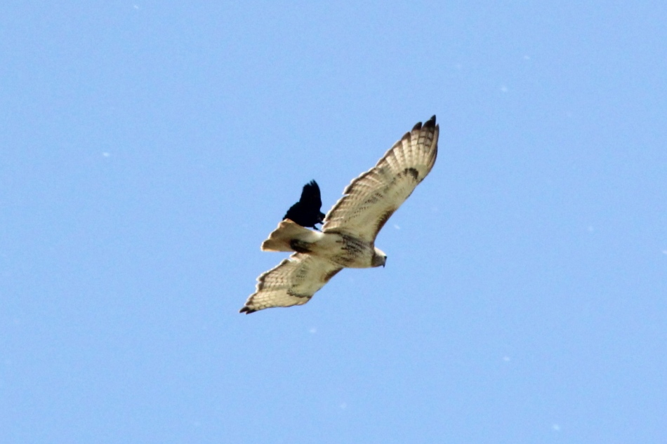 Red-winged blackbird attacking a red-tailed hawk