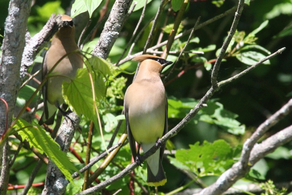 Cedar waxwing not hiding