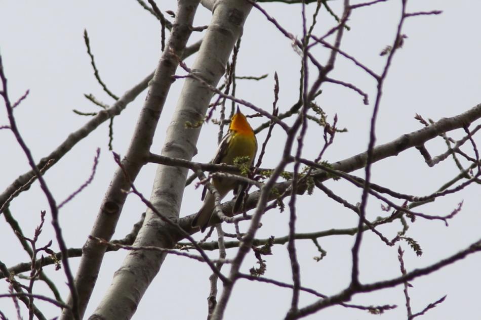 Blackburnian Warbler, Setophaga fusca