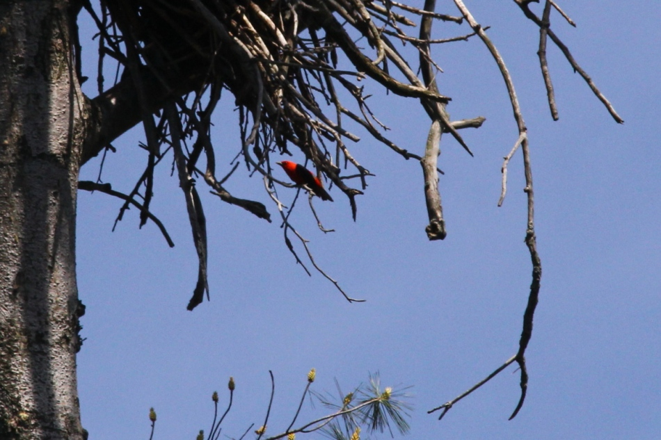 Male Scarlet tanager under an eagle's nest