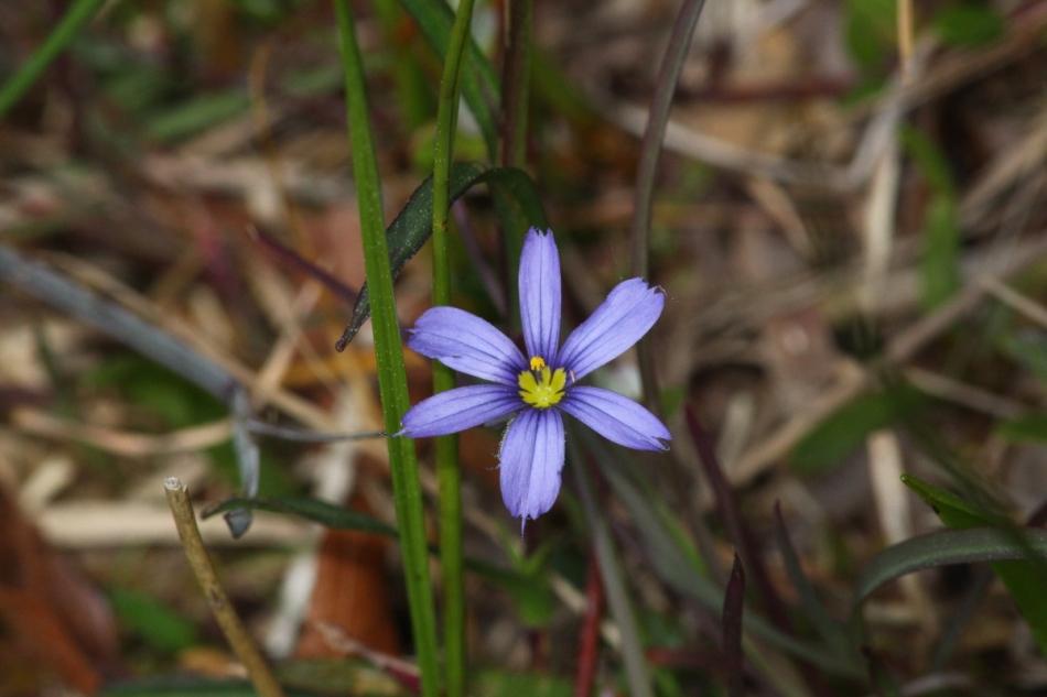 Atlantic blue-eyed grass at 420 mm