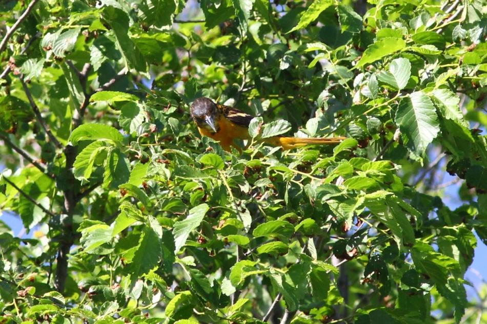 Juvenile male Baltimore oriole