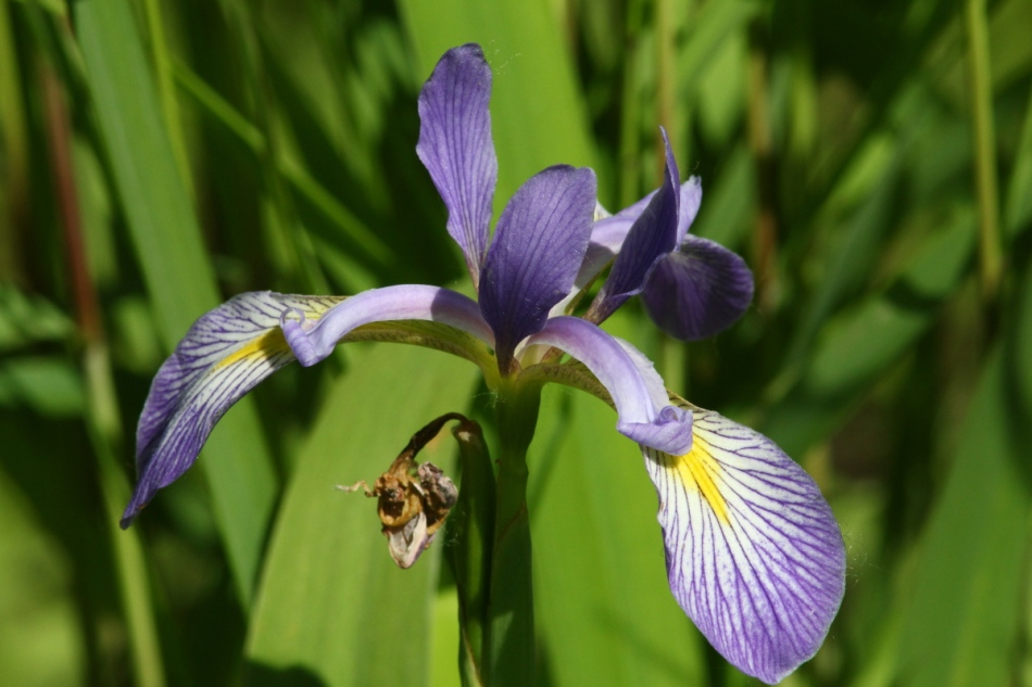 Iris slightly correctly exposed with out insect