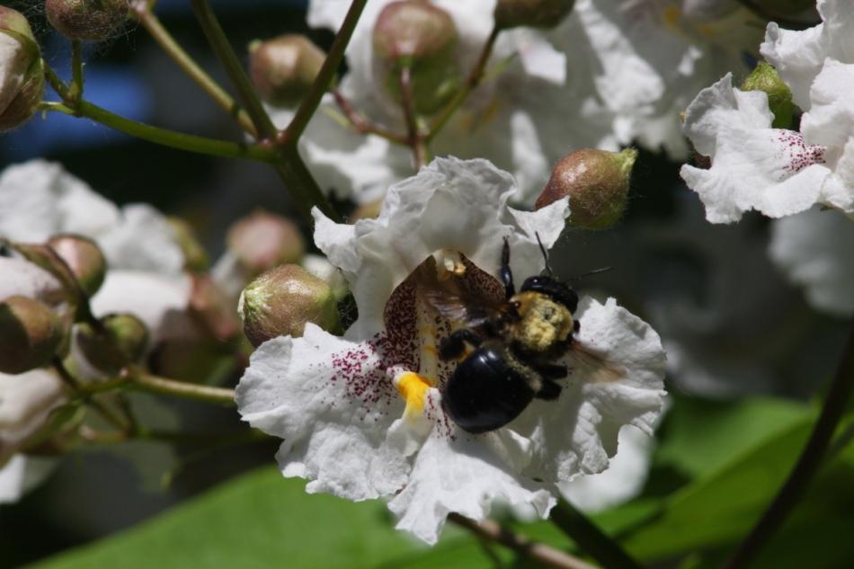 Catalpa and bumblebee