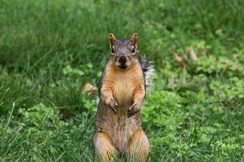 Muddy fox squirrel