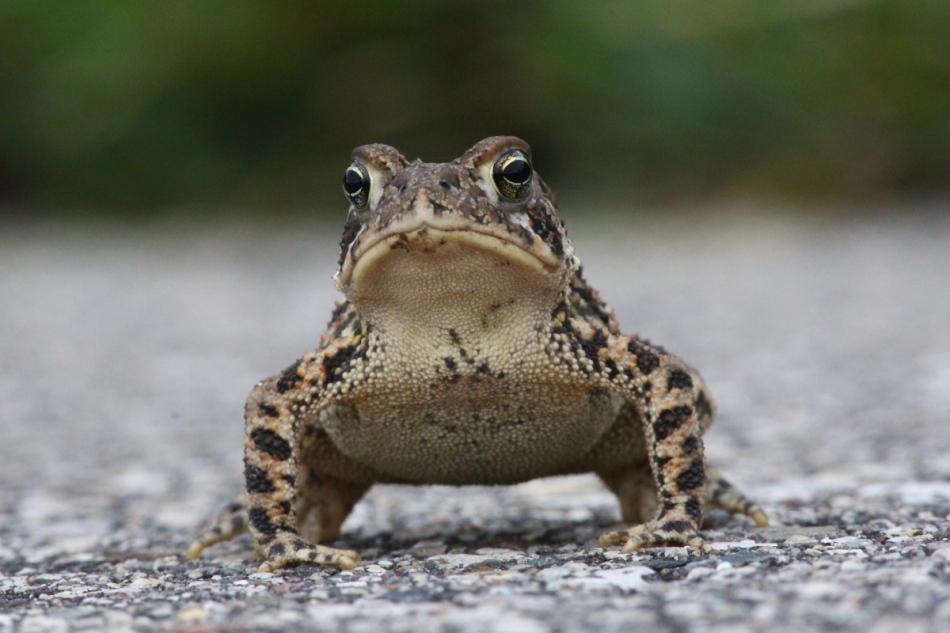 Toad at f/16