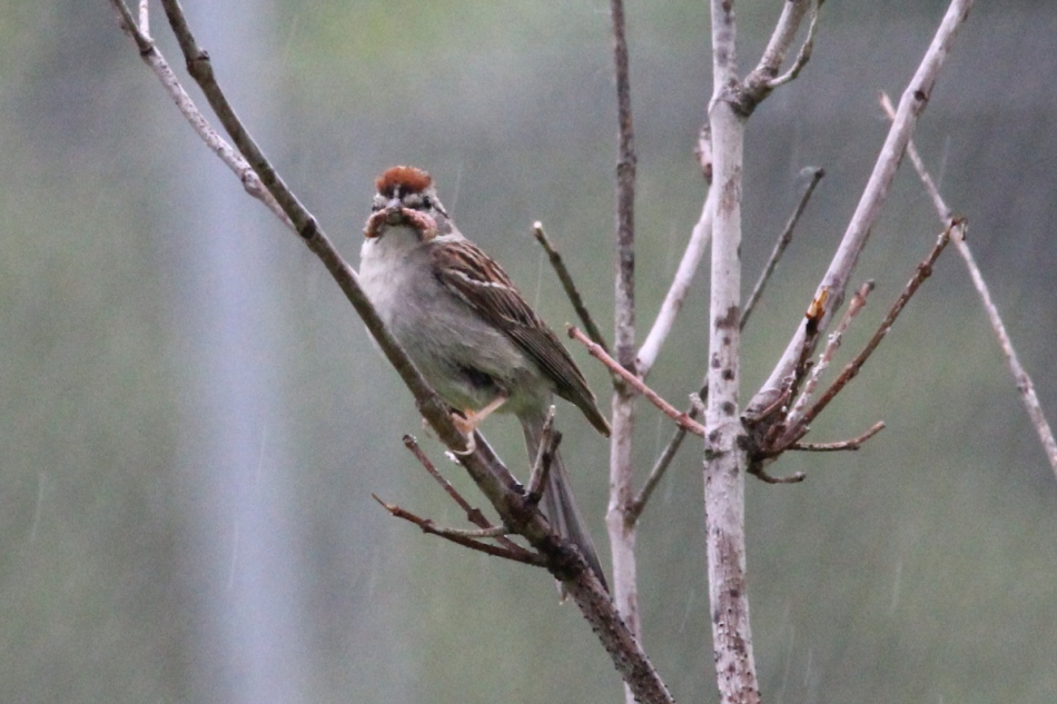 Chipping sparrow in the rain
