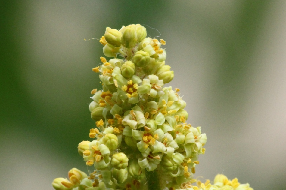 Sumac flowers