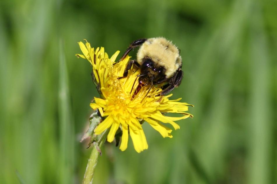 Bumblebee on a dandelion