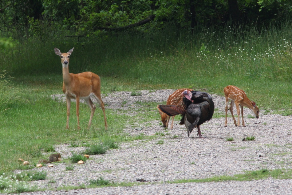 Whitetail deer, turkey, and fox squirrel