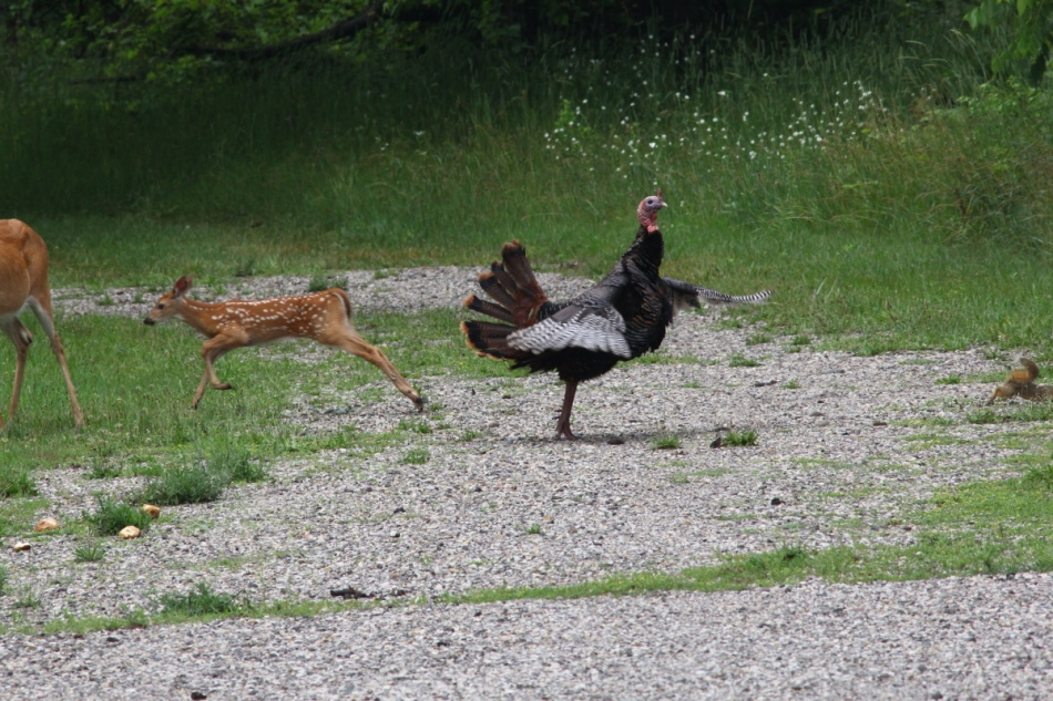 Whitetail doe, fawns, turkey, and fox squirrel