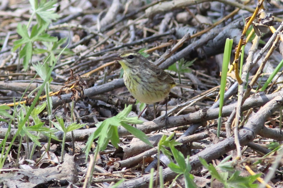 Female palm warbler