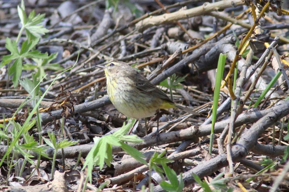 Female palm warbler looking rather demure