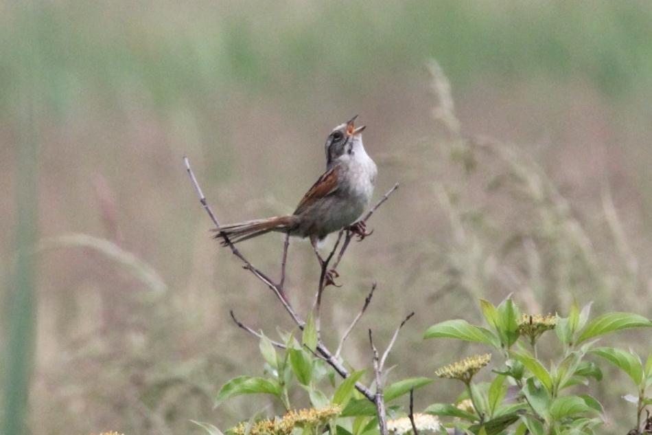 Swamp sparrow singing