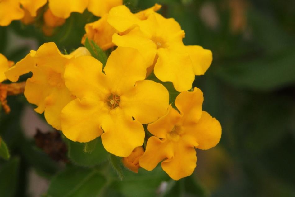 Plains Puccoon, Lithospermum caroliniense