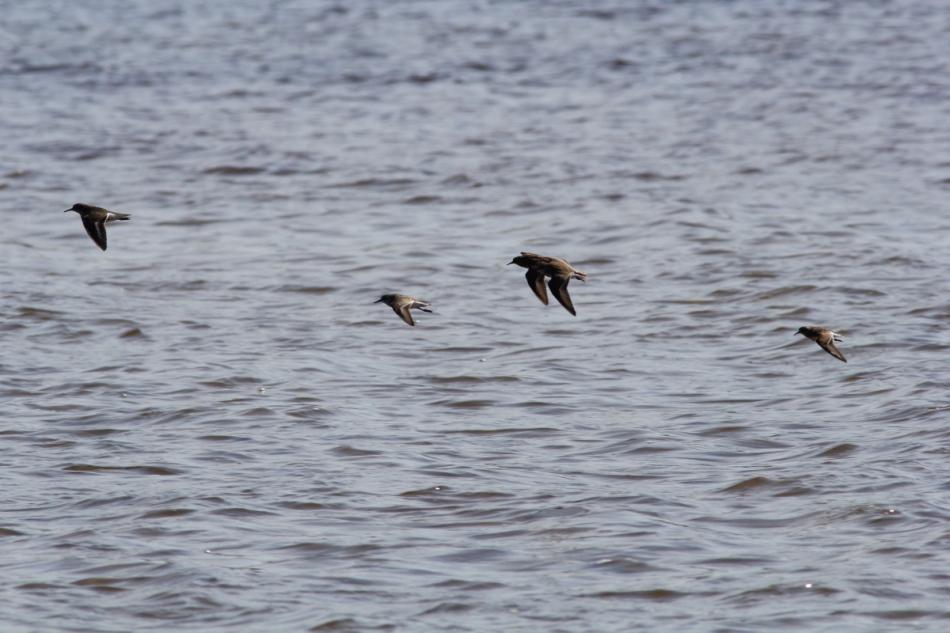 Four shorebirds of three different species in flight