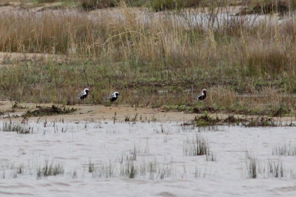 Black-bellied plovers