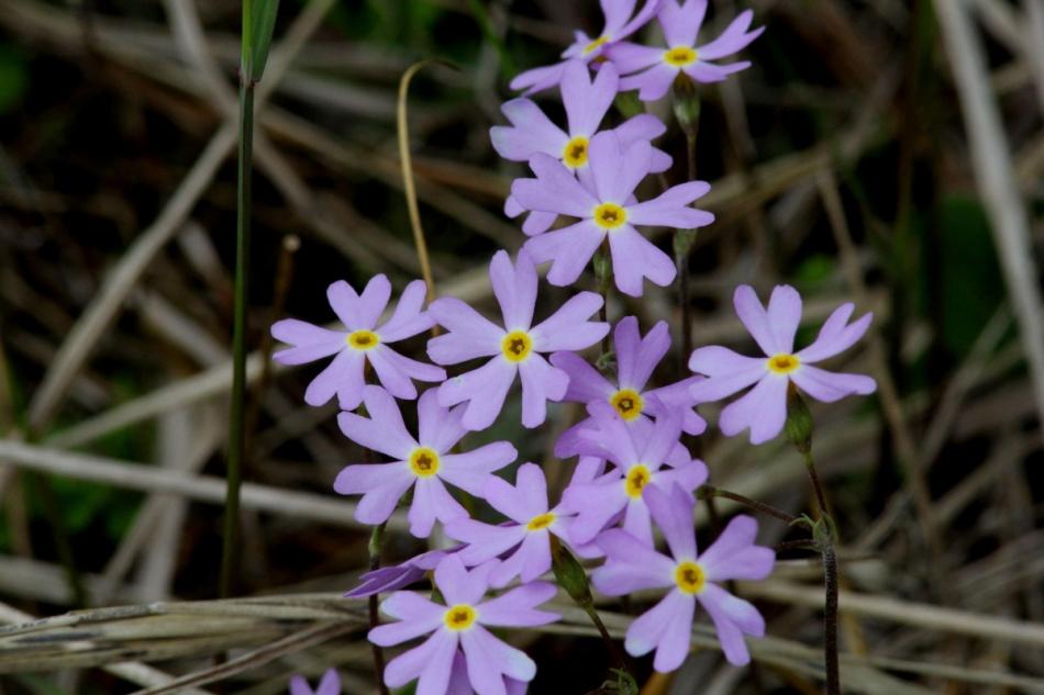 Unidentified flowering objects, bluets?